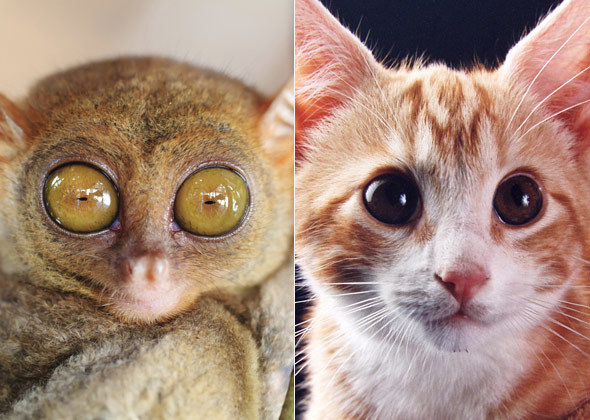 tarsier-cat